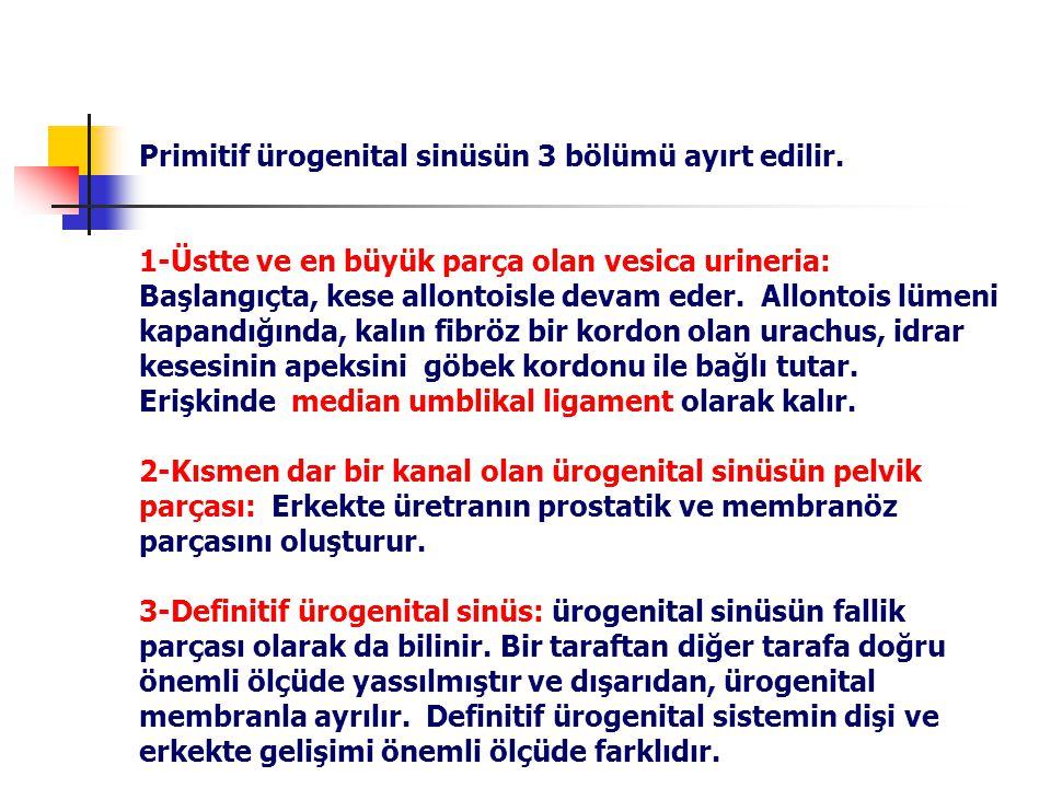 Primitif ürogenital sinüsün 3 bölümü ayırt edilir.