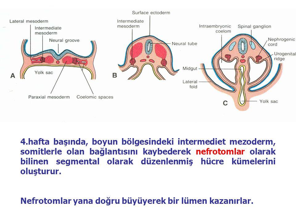 4.hafta başında, boyun bölgesindeki intermediet mezoderm, somitlerle olan bağlantısını kaybederek nefrotomlar olarak bilinen segmental olarak düzenlenmiş hücre kümelerini oluşturur.
