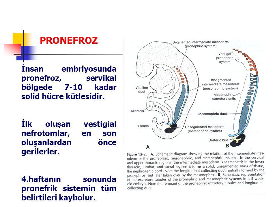 PRONEFROZ İnsan embriyosunda pronefroz, servikal bölgede 7-10 kadar solid hücre kütlesidir.