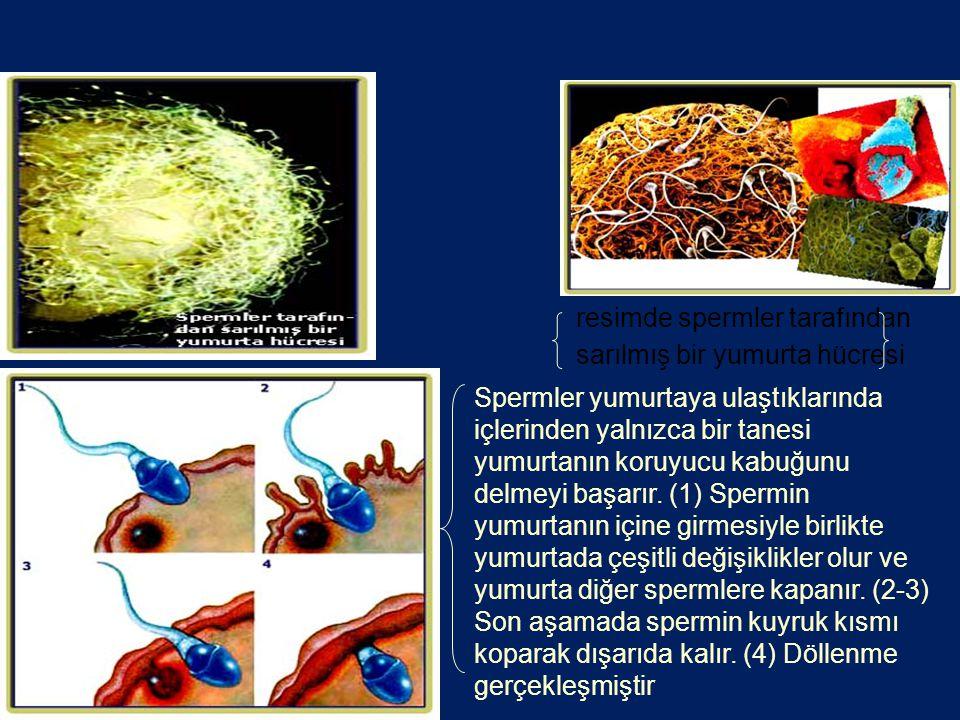 resimde spermler tarafından sarılmış bir yumurta hücresi