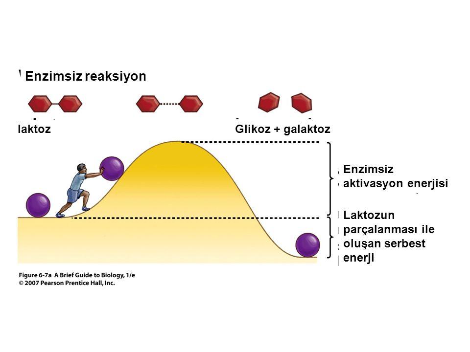 Enzimsiz reaksiyon laktoz Glikoz + galaktoz