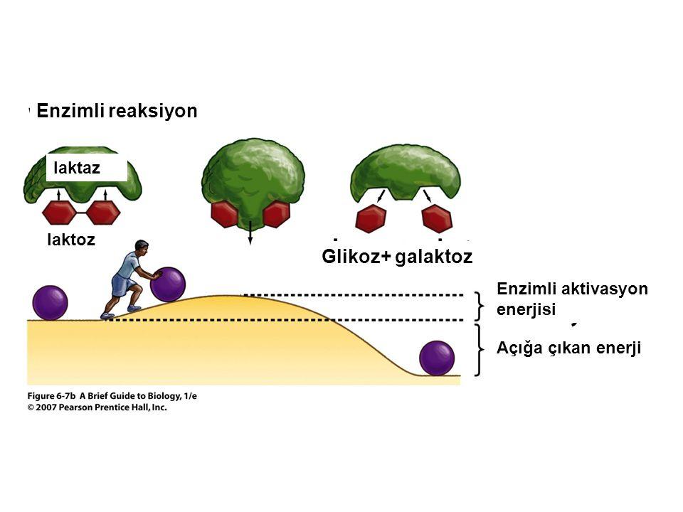 Enzimli reaksiyon Glikoz+ galaktoz laktaz laktoz