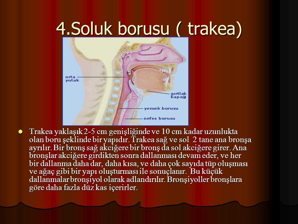 4.Soluk borusu ( trakea)