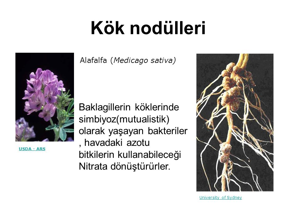 Kök nodülleri Alafalfa (Medicago sativa) USDA - ARS. University of Sydney.