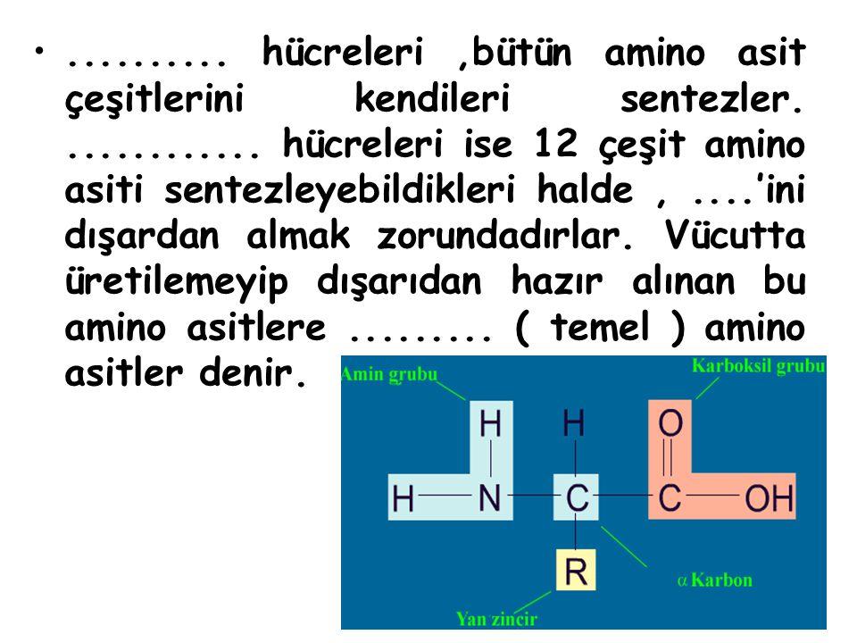 hücreleri ,bütün amino asit çeşitlerini kendileri sentezler