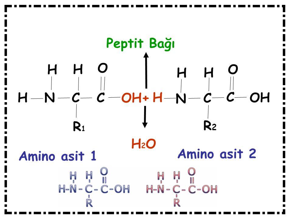 Peptit Bağı H N C C H H O O H H OH+ H N C C OH R1 R2 H2O Amino asit 2 Amino asit 1