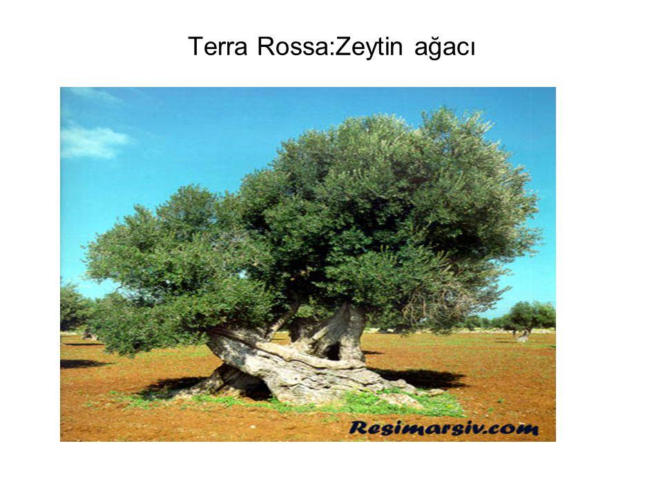 Terra Rossa:Zeytin ağacı