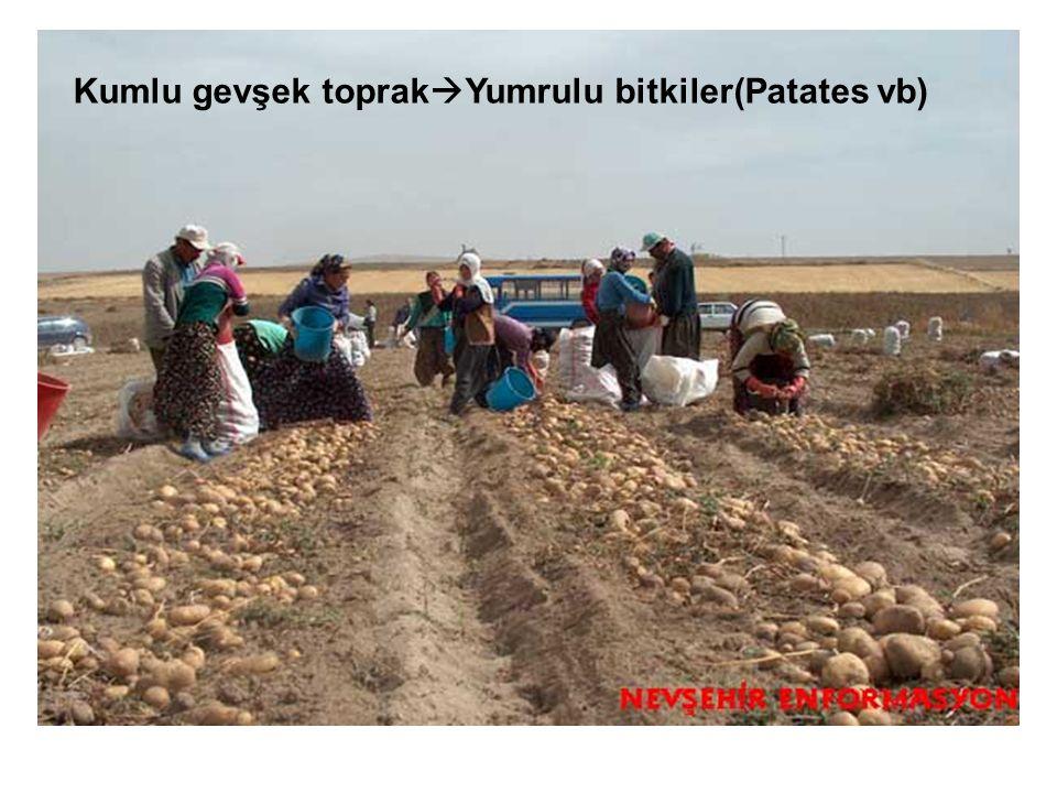 Kumlu gevşek toprakYumrulu bitkiler(Patates vb)