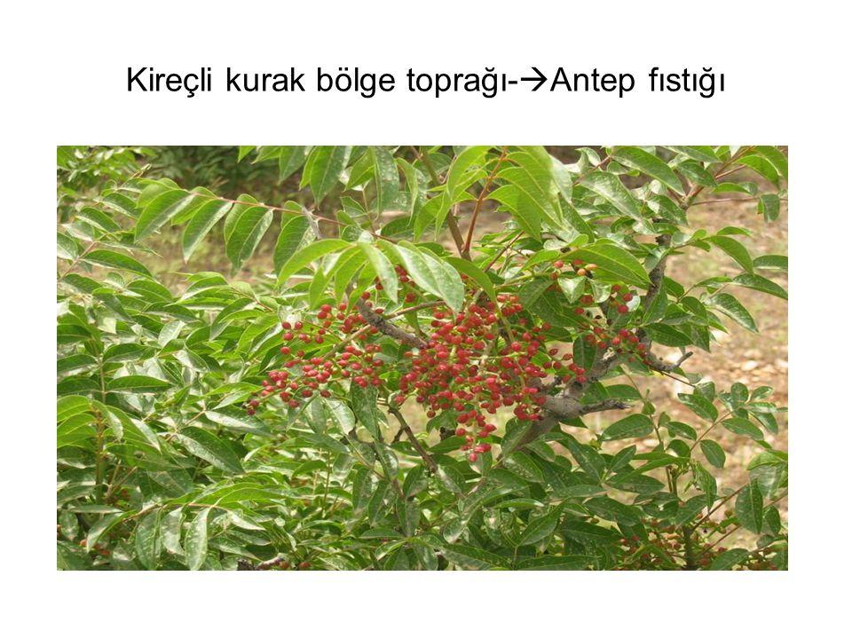 Kireçli kurak bölge toprağı-Antep fıstığı