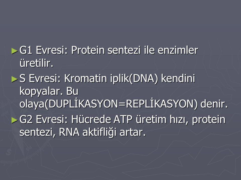 G1 Evresi: Protein sentezi ile enzimler üretilir.
