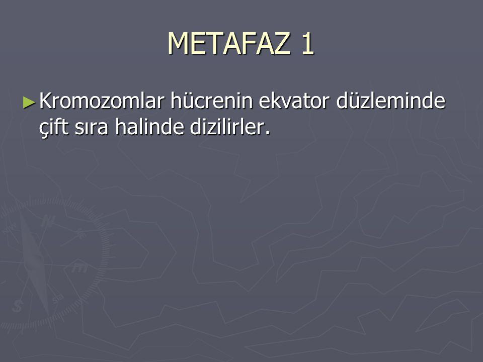METAFAZ 1 Kromozomlar hücrenin ekvator düzleminde çift sıra halinde dizilirler.