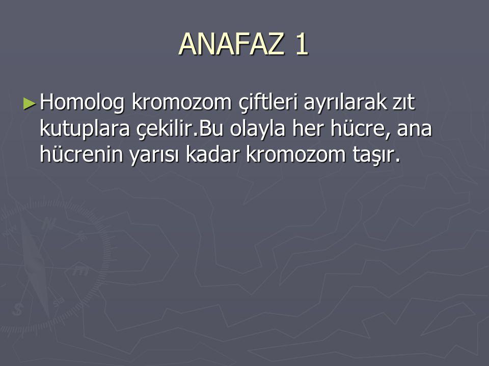 ANAFAZ 1 Homolog kromozom çiftleri ayrılarak zıt kutuplara çekilir.Bu olayla her hücre, ana hücrenin yarısı kadar kromozom taşır.