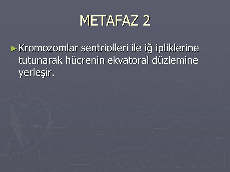 METAFAZ 2 Kromozomlar sentriolleri ile iğ ipliklerine tutunarak hücrenin ekvatoral düzlemine yerleşir.