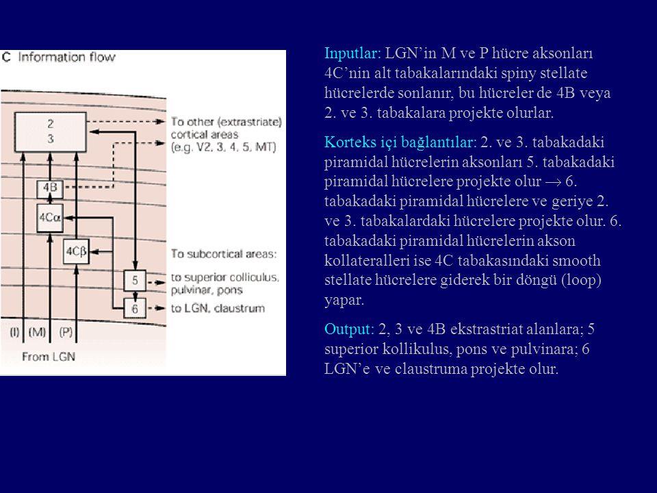 Inputlar: LGN'in M ve P hücre aksonları 4C'nin alt tabakalarındaki spiny stellate hücrelerde sonlanır, bu hücreler de 4B veya 2. ve 3. tabakalara projekte olurlar.