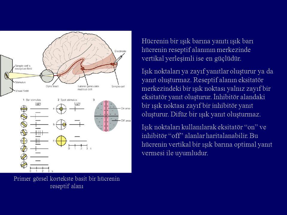Primer görsel kortekste basit bir hücrenin reseptif alanı