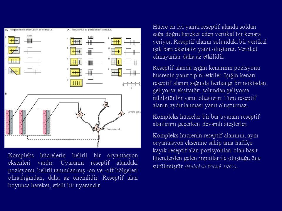 Hücre en iyi yanıtı reseptif alanda soldan sağa doğru hareket eden vertikal bir kenara veriyor. Reseptif alanın solundaki bir vertikal ışık barı eksitatör yanıt oluşturur. Vertikal olmayanlar daha az etkilidir.
