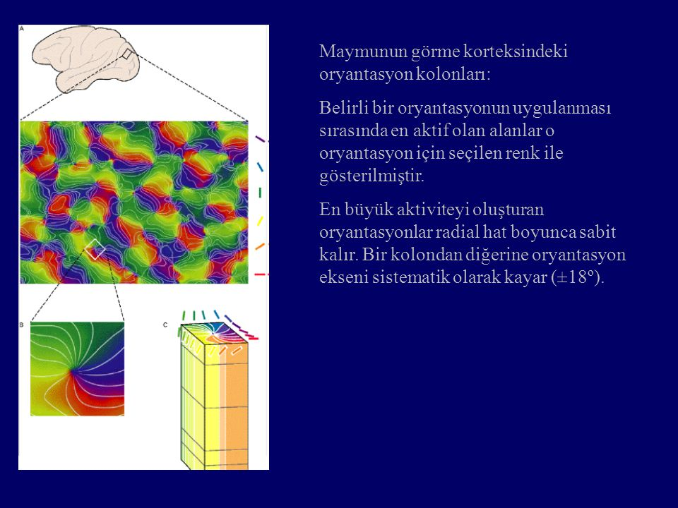 Maymunun görme korteksindeki oryantasyon kolonları: