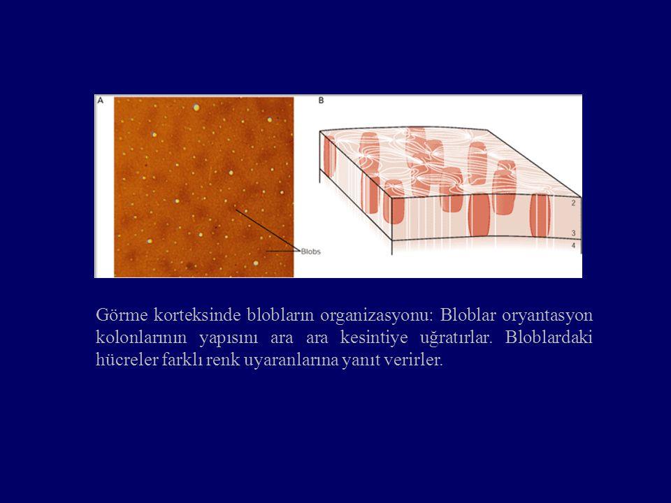 Görme korteksinde blobların organizasyonu: Bloblar oryantasyon kolonlarının yapısını ara ara kesintiye uğratırlar.