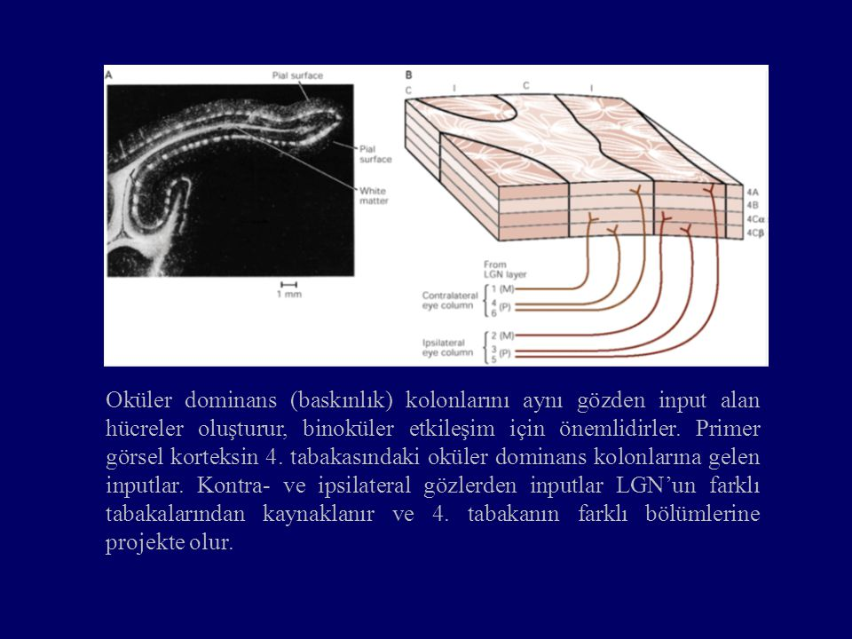 Oküler dominans (baskınlık) kolonlarını aynı gözden input alan hücreler oluşturur, binoküler etkileşim için önemlidirler.