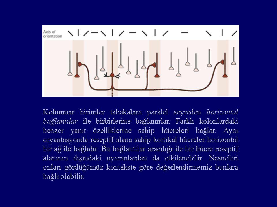 Kolumnar birimler tabakalara paralel seyreden horizontal bağlantılar ile birbirlerine bağlanırlar.