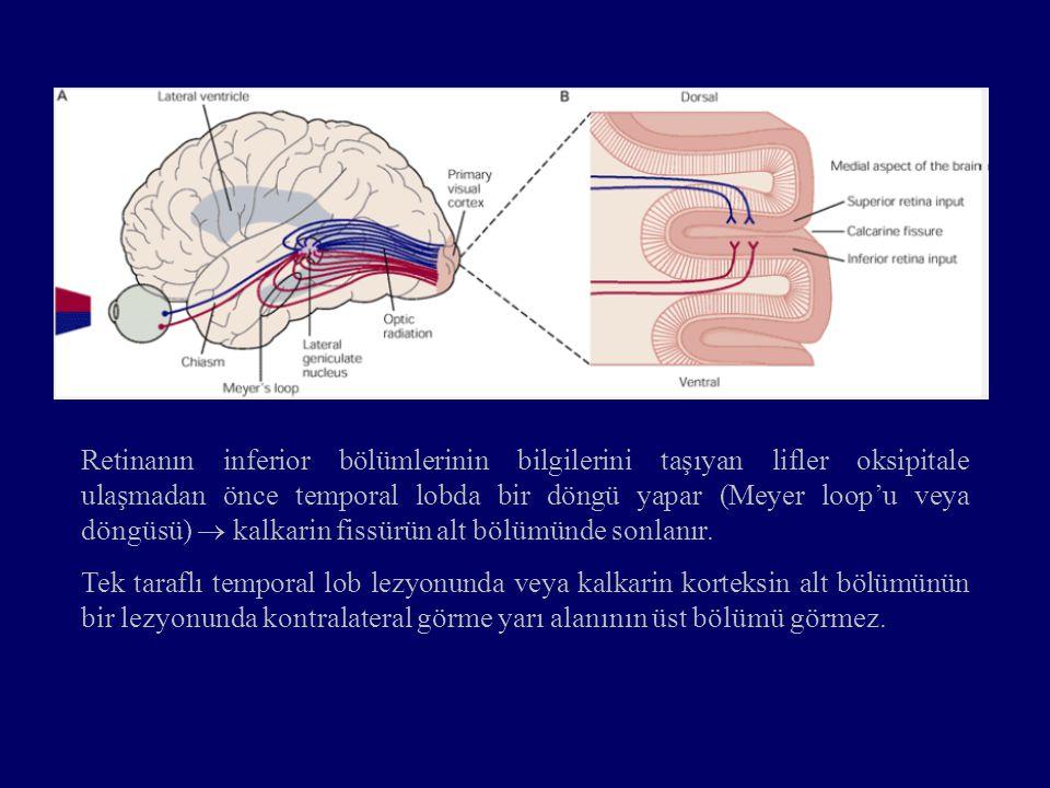 Retinanın inferior bölümlerinin bilgilerini taşıyan lifler oksipitale ulaşmadan önce temporal lobda bir döngü yapar (Meyer loop'u veya döngüsü)  kalkarin fissürün alt bölümünde sonlanır.