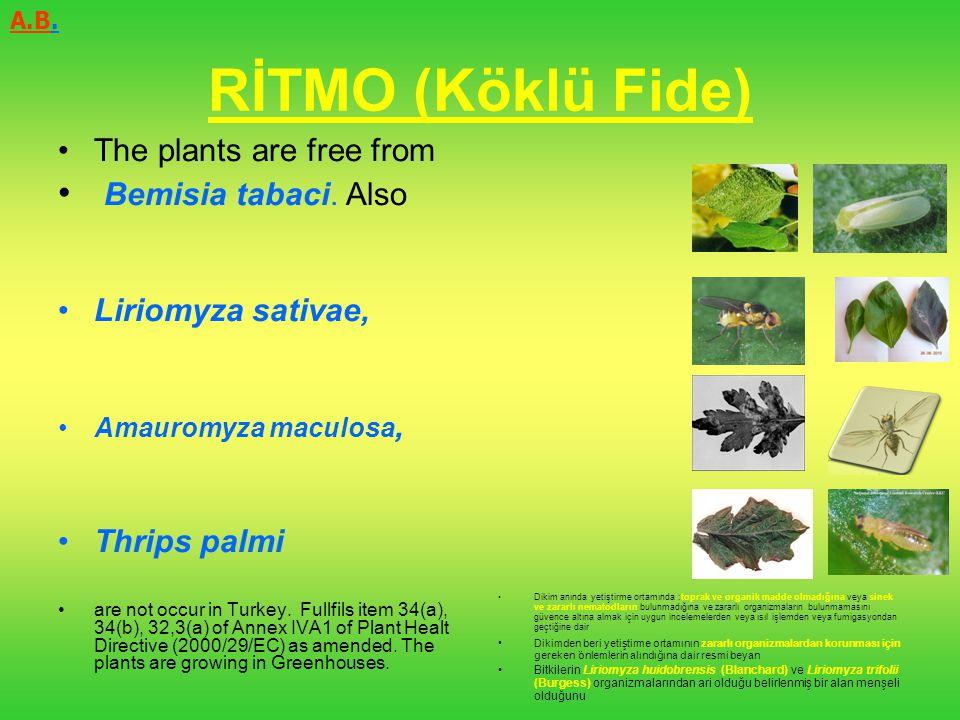 RİTMO (Köklü Fide) Bemisia tabaci. Also The plants are free from