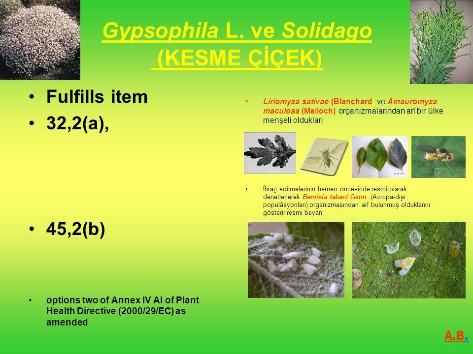 Gypsophila L. ve Solidago (KESME ÇİÇEK)