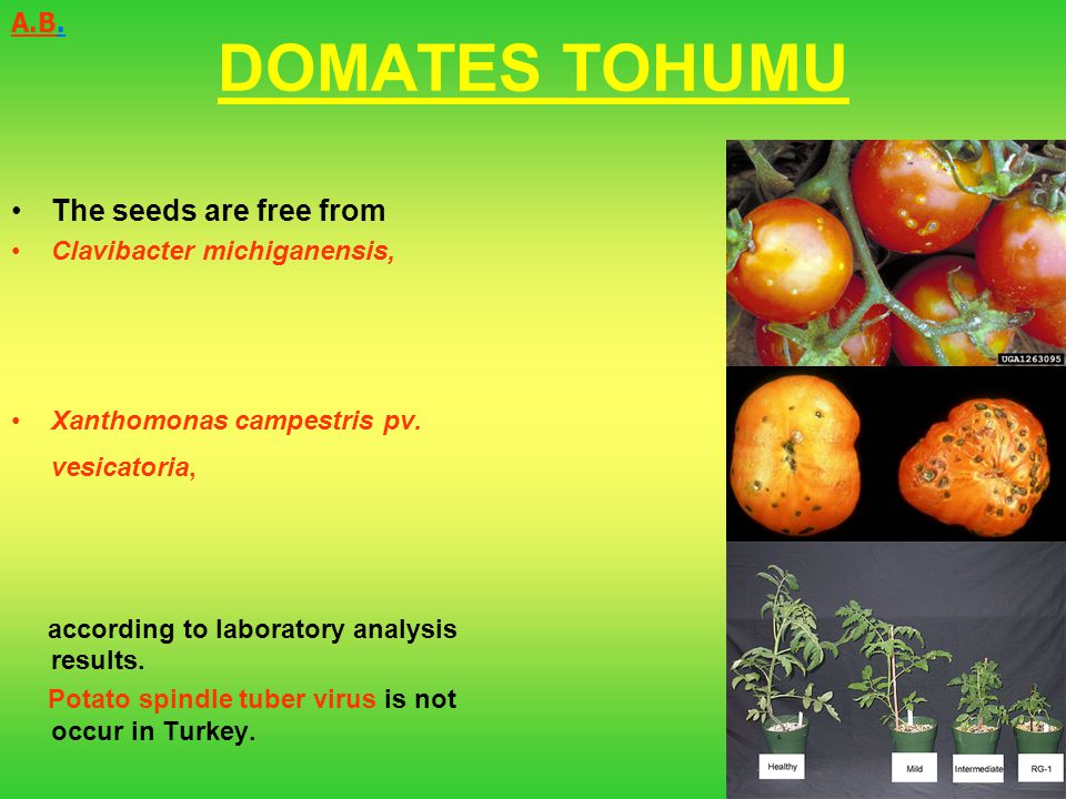 DOMATES TOHUMU The seeds are free from A.B. Clavibacter michiganensis,