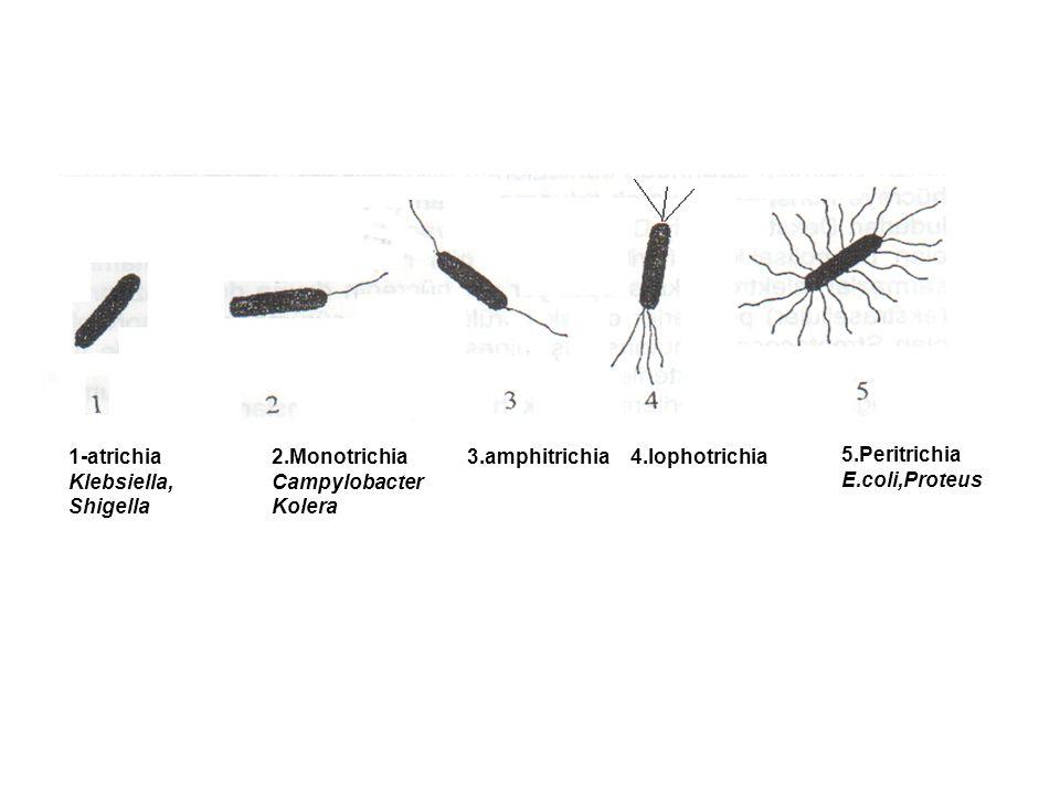 1-atrichia Klebsiella, Shigella. 2.Monotrichia. Campylobacter. Kolera. 3.amphitrichia. 4.lophotrichia.