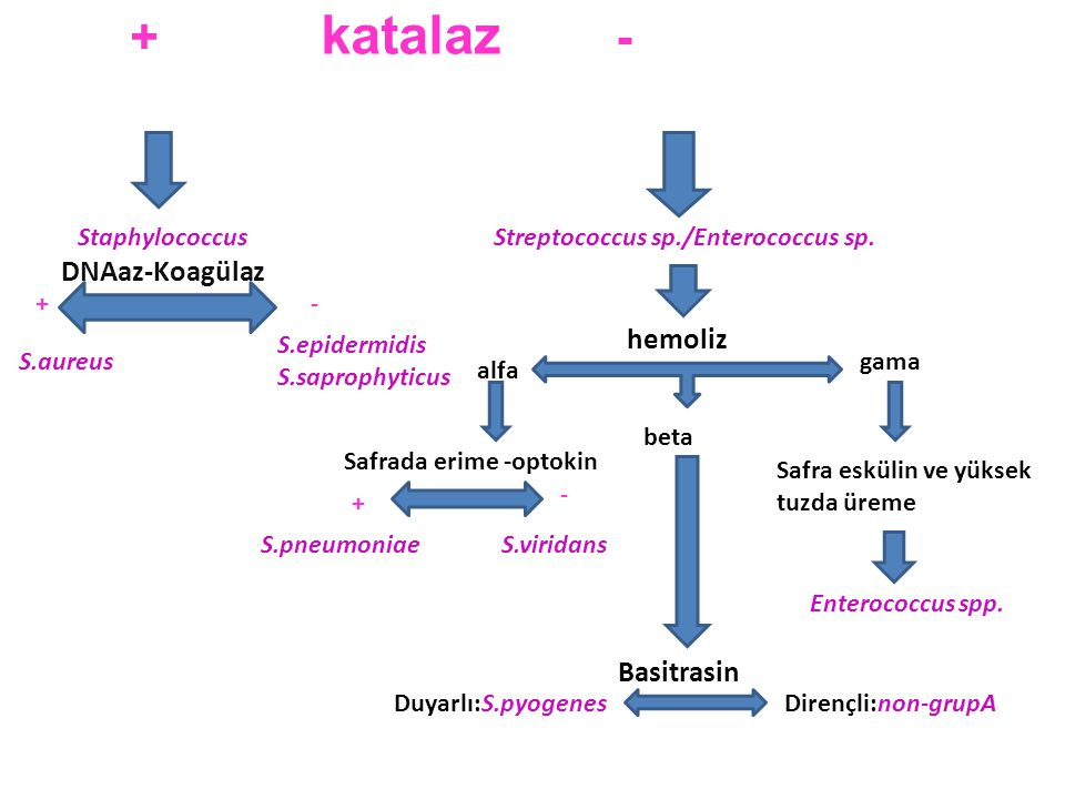 + katalaz - DNAaz-Koagülaz hemoliz Basitrasin Staphylococcus