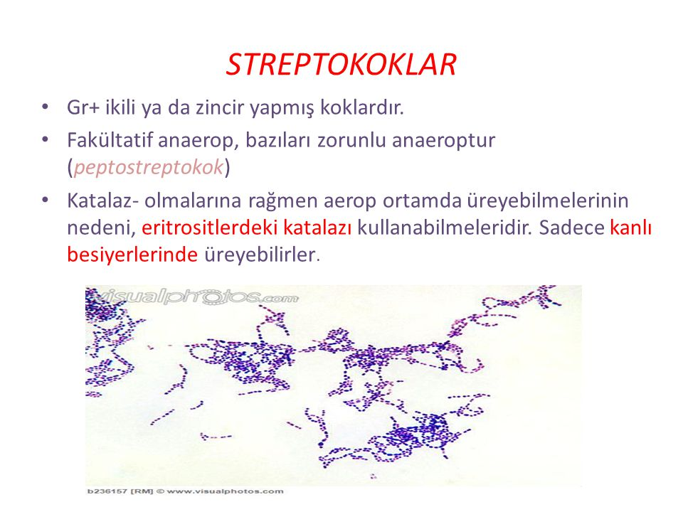 STREPTOKOKLAR Gr+ ikili ya da zincir yapmış koklardır.