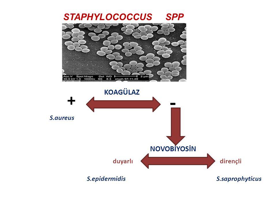 - + STAPHYLOCOCCUS SPP KOAGÜLAZ NOVOBİYOSİN S.aureus duyarlı dirençli