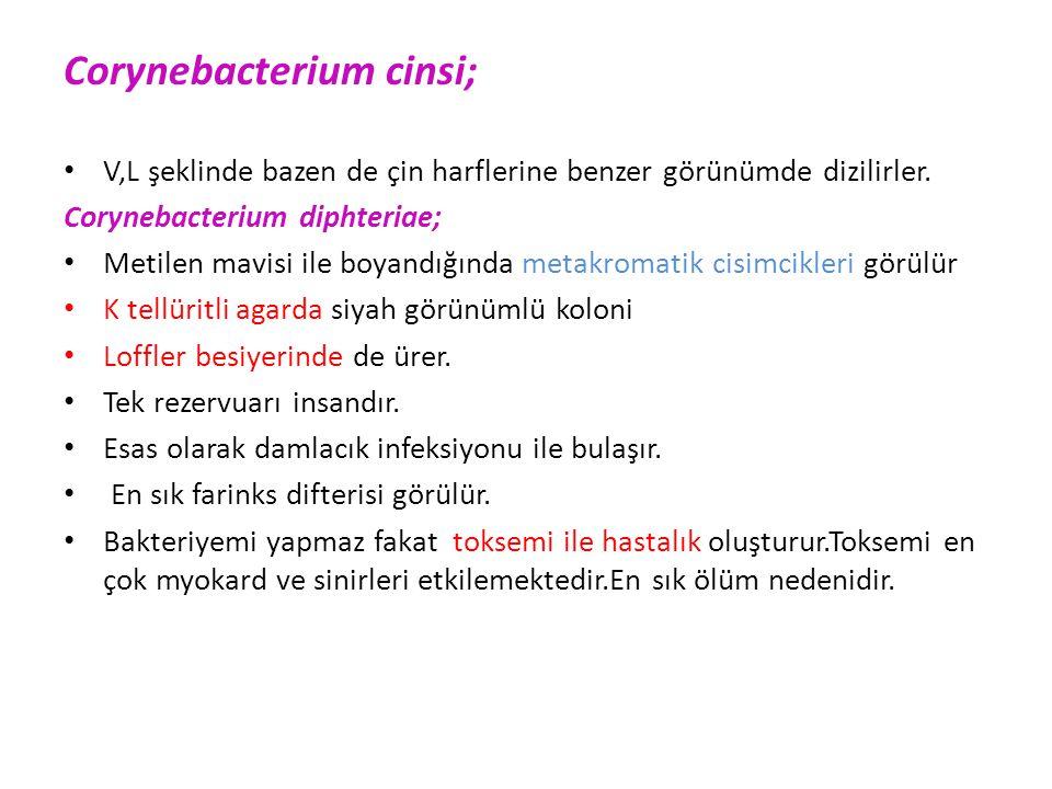 Corynebacterium cinsi;