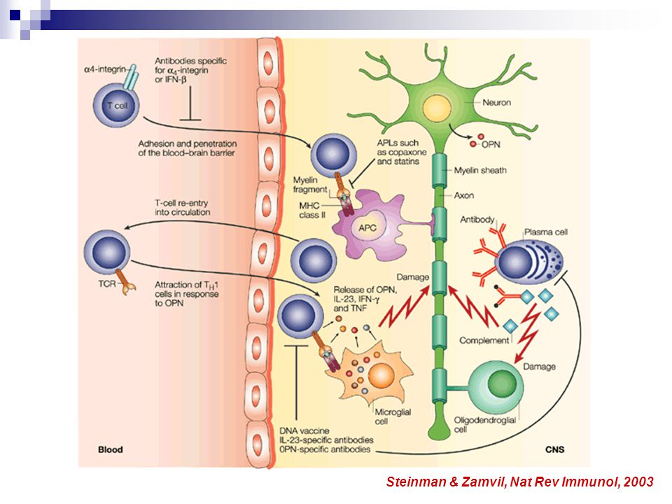 Steinman & Zamvil, Nat Rev Immunol, 2003