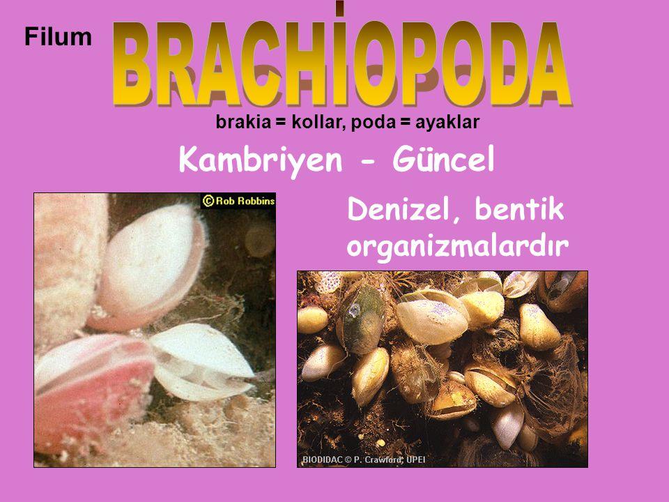 BRACHİOPODA Kambriyen - Güncel Denizel, bentik organizmalardır Filum