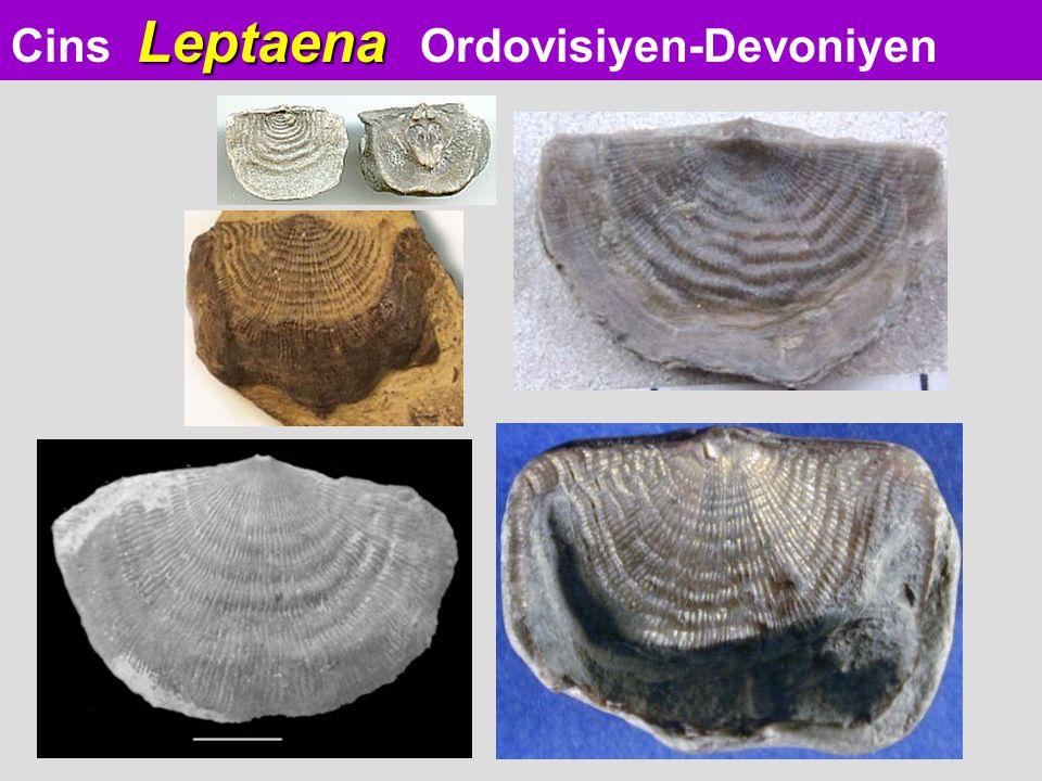 Cins Leptaena Ordovisiyen-Devoniyen
