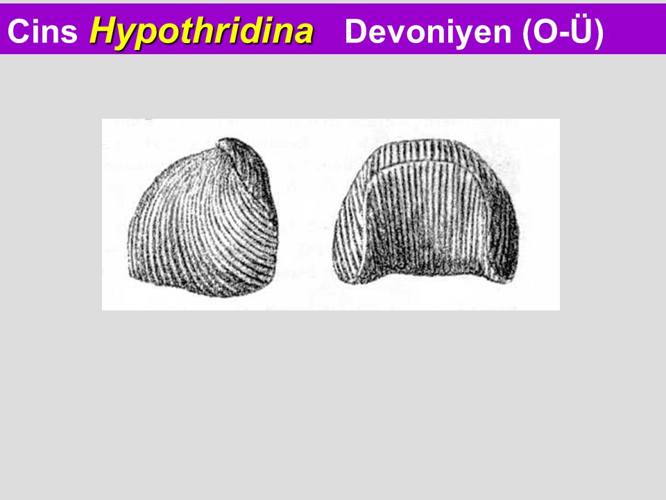 Cins Hypothridina Devoniyen (O-Ü)