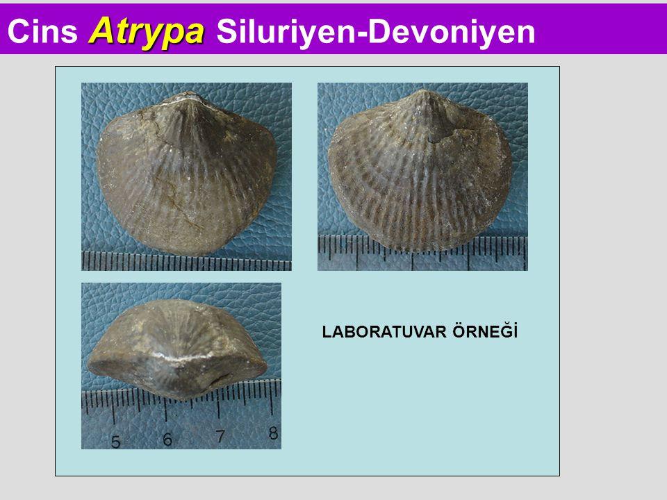 Cins Atrypa Siluriyen-Devoniyen