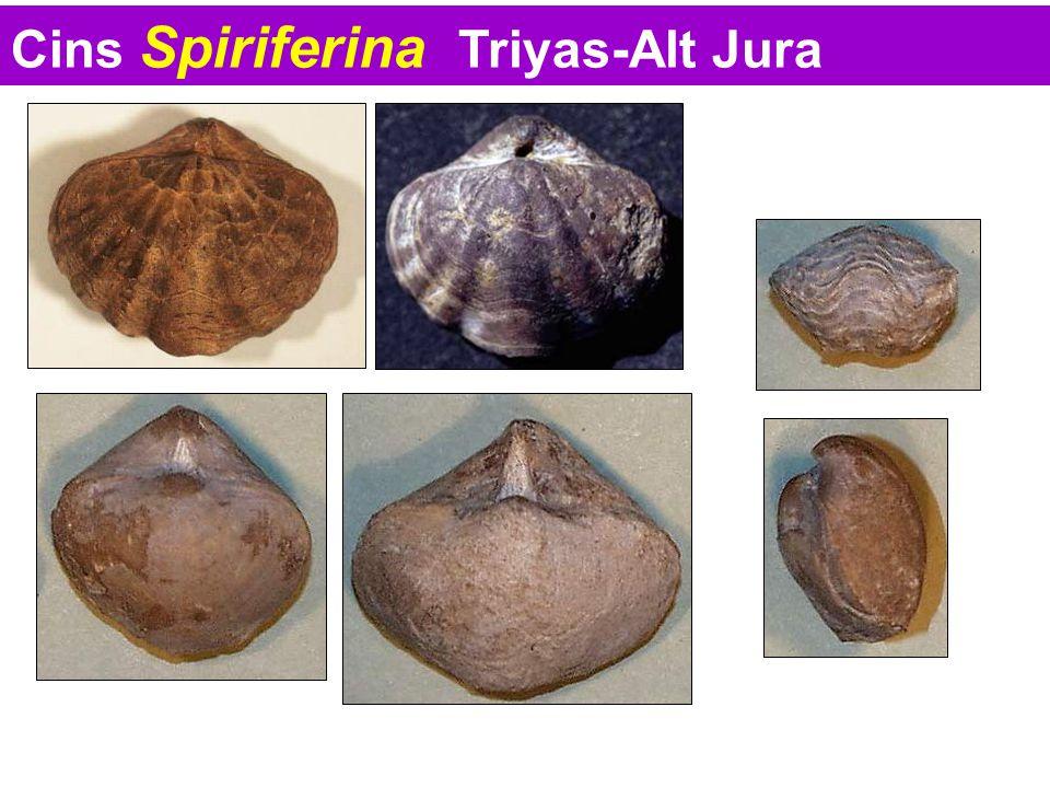 Cins Spiriferina Triyas-Alt Jura