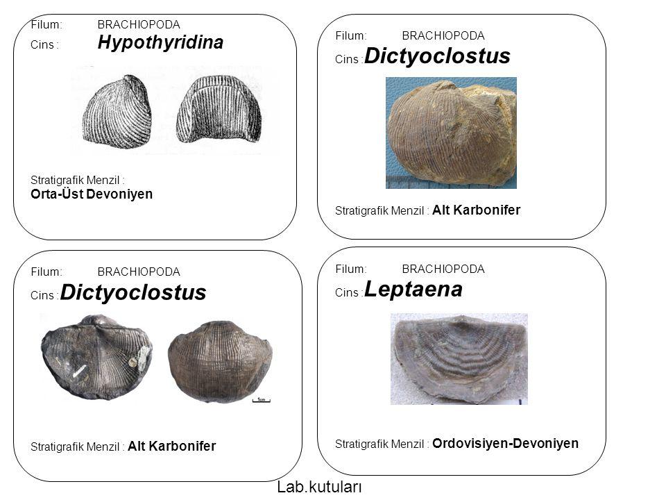 Lab.kutuları Orta-Üst Devoniyen Filum: BRACHIOPODA