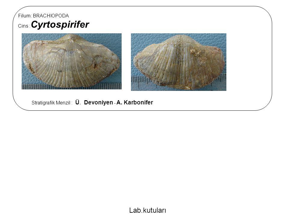 Lab.kutuları Filum: BRACHIOPODA Cins :Cyrtospirifer