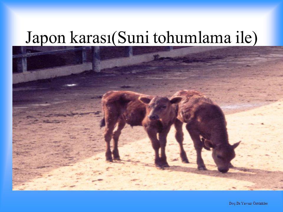 Japon karası(Suni tohumlama ile)