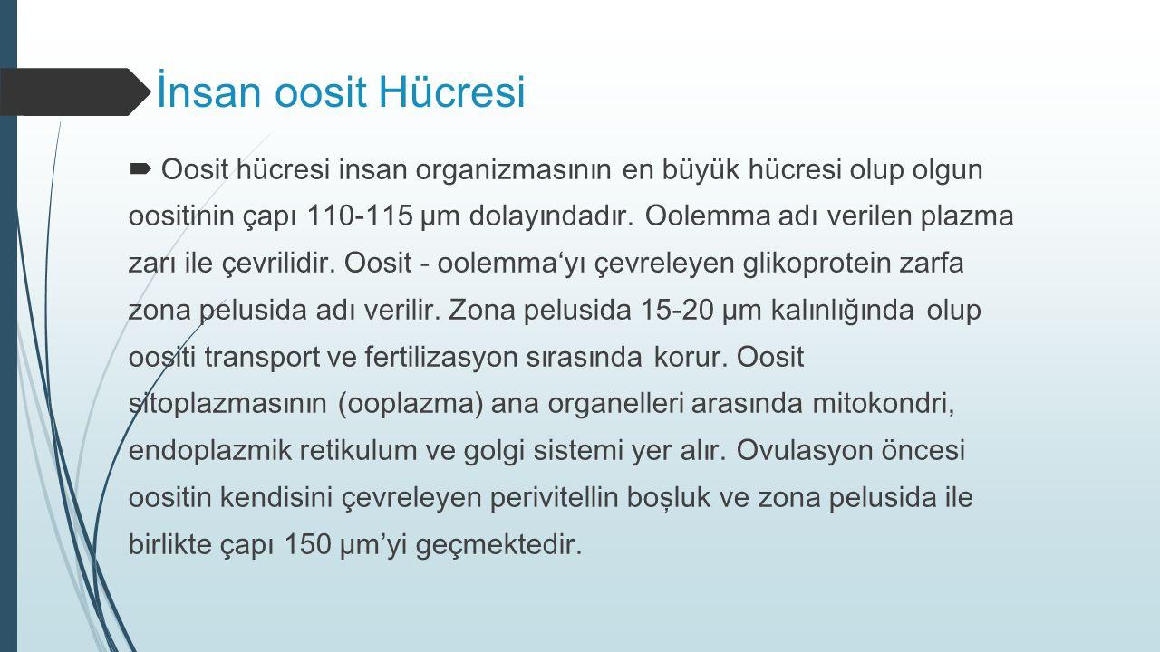 İnsan oosit Hücresi Oosit hücresi insan organizmasının en büyük hücresi olup olgun.
