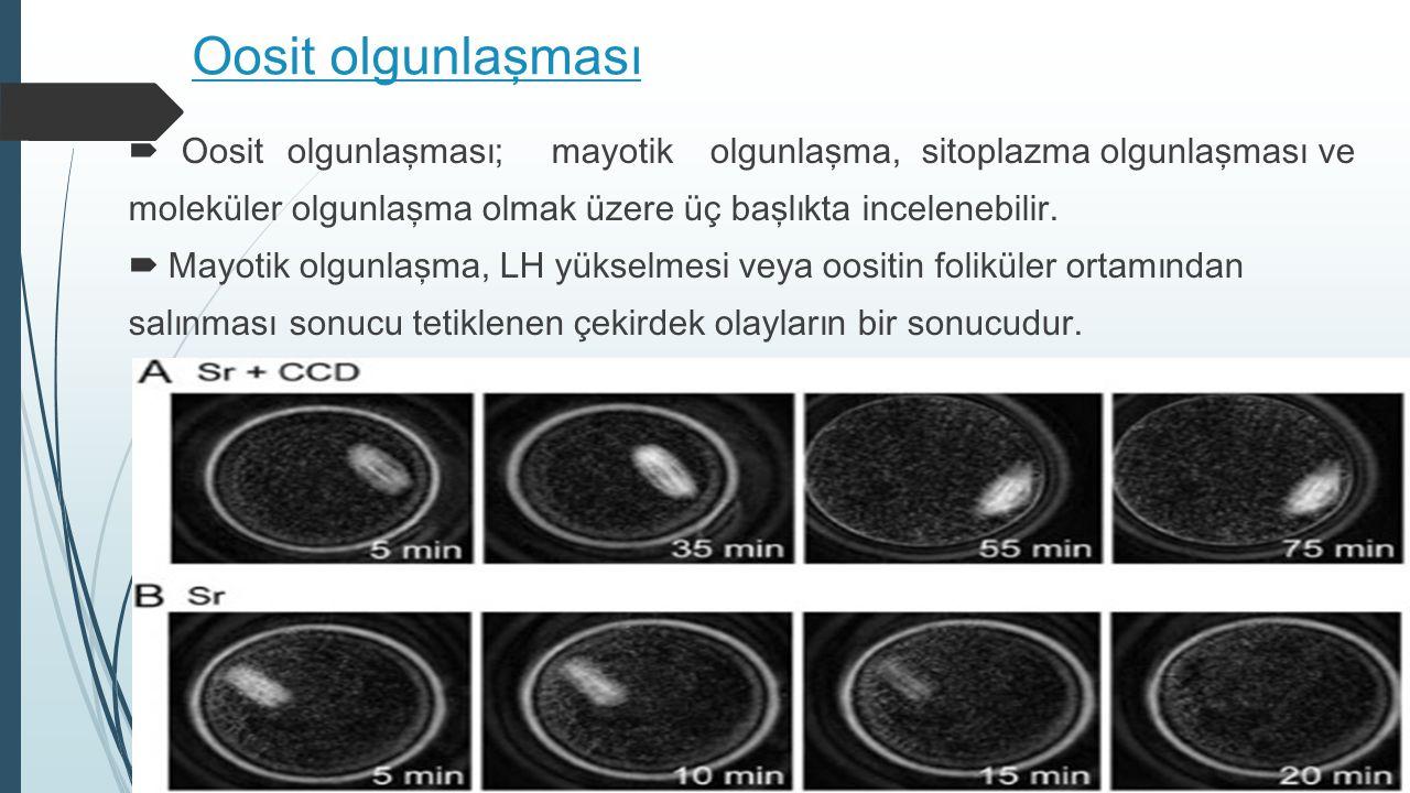 Oosit olgunlaşması Oosit olgunlaşması; mayotik olgunlaşma, sitoplazma olgunlaşması ve.