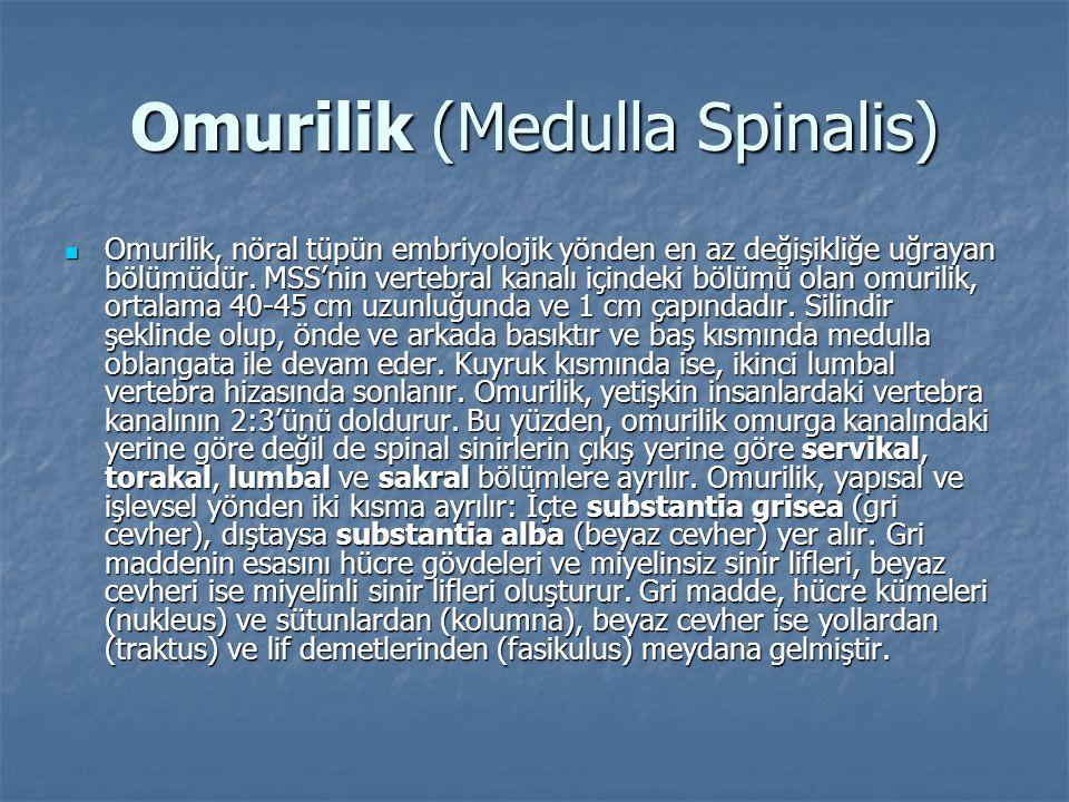 Omurilik (Medulla Spinalis)