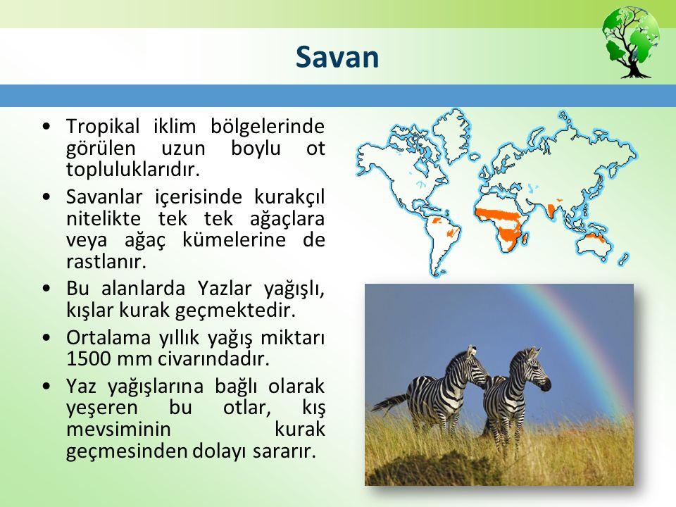 Savan Tropikal iklim bölgelerinde görülen uzun boylu ot topluluklarıdır.