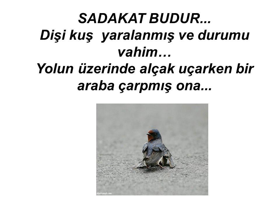 Dişi kuş yaralanmış ve durumu vahim…