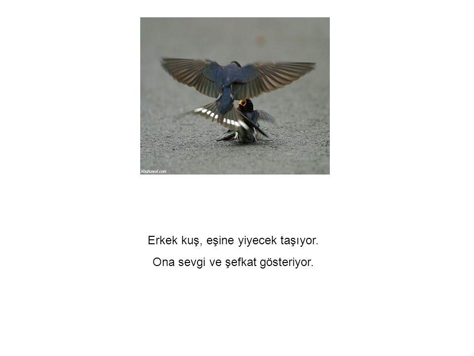 Erkek kuş, eşine yiyecek taşıyor. Ona sevgi ve şefkat gösteriyor.