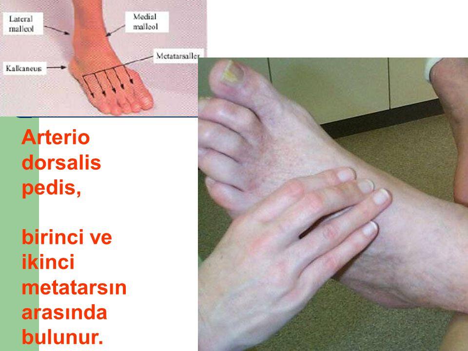 Arterio dorsalis pedis,