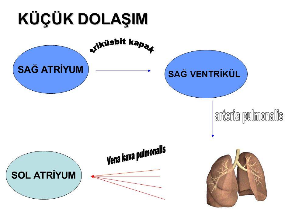 KÜÇÜK DOLAŞIM triküsbit kapak arteria pulmonalis Vena kava pulmonalis